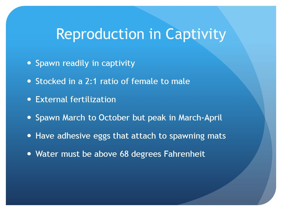 Reproduction in Captivity Spawn readily in captivity Stocked in a 2:1 ratio of female to male External fertilization Spawn March to October but peak i