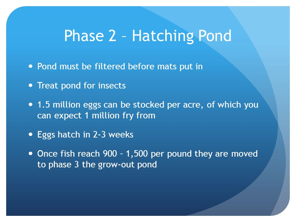 Phase 2 – Hatching Pond Pond must be filtered before mats put in Treat pond for insects 1.5 million eggs can be stocked per acre, of which you can expect 1 million fry from Eggs hatch in 2-3 weeks Once fish reach 900 – 1,500 per pound they are moved to phase 3 the grow-out pond