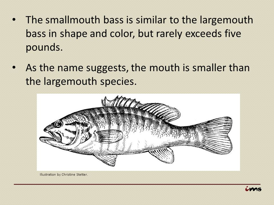 The smallmouth bass is similar to the largemouth bass in shape and color, but rarely exceeds five pounds. As the name suggests, the mouth is smaller t