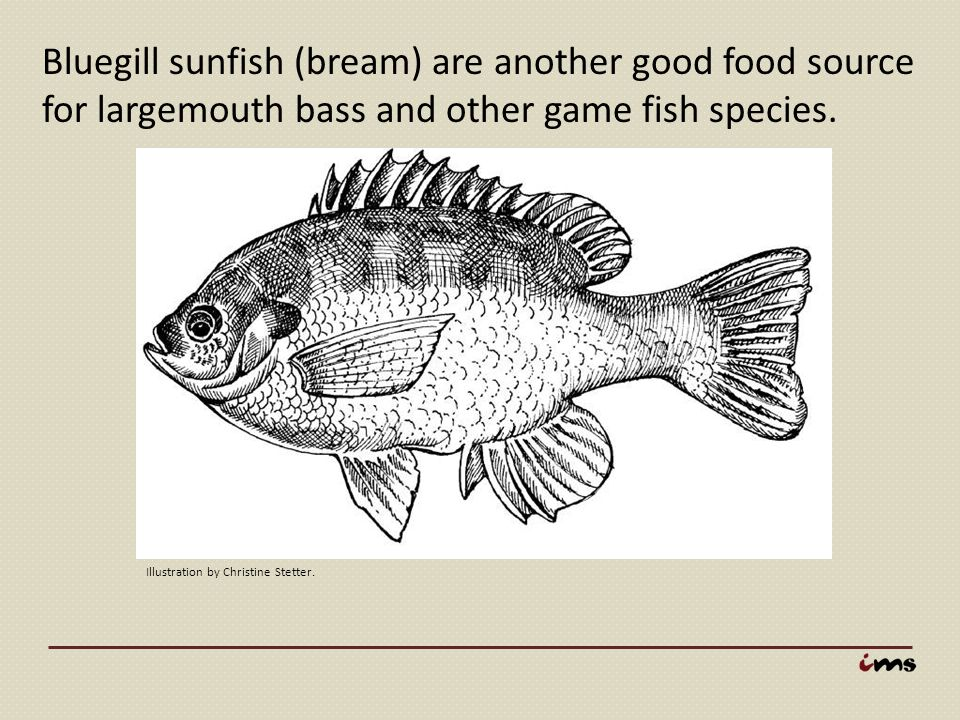 Bluegill sunfish (bream) are another good food source for largemouth bass and other game fish species. Illustration by Christine Stetter.