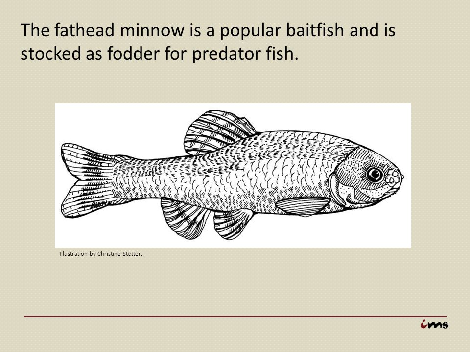 The fathead minnow is a popular baitfish and is stocked as fodder for predator fish. Illustration by Christine Stetter.
