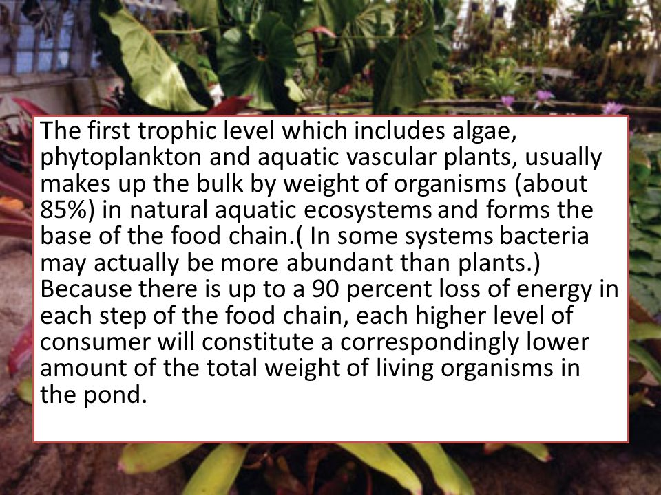 The first trophic level which includes algae, phytoplankton and aquatic vascular plants, usually makes up the bulk by weight of organisms (about 85%) in natural aquatic ecosystems and forms the base of the food chain.( In some systems bacteria may actually be more abundant than plants.) Because there is up to a 90 percent loss of energy in each step of the food chain, each higher level of consumer will constitute a correspondingly lower amount of the total weight of living organisms in the pond.