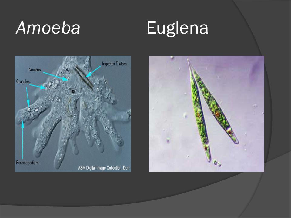 Amoeba Euglena