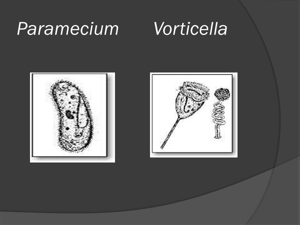 Paramecium Vorticella