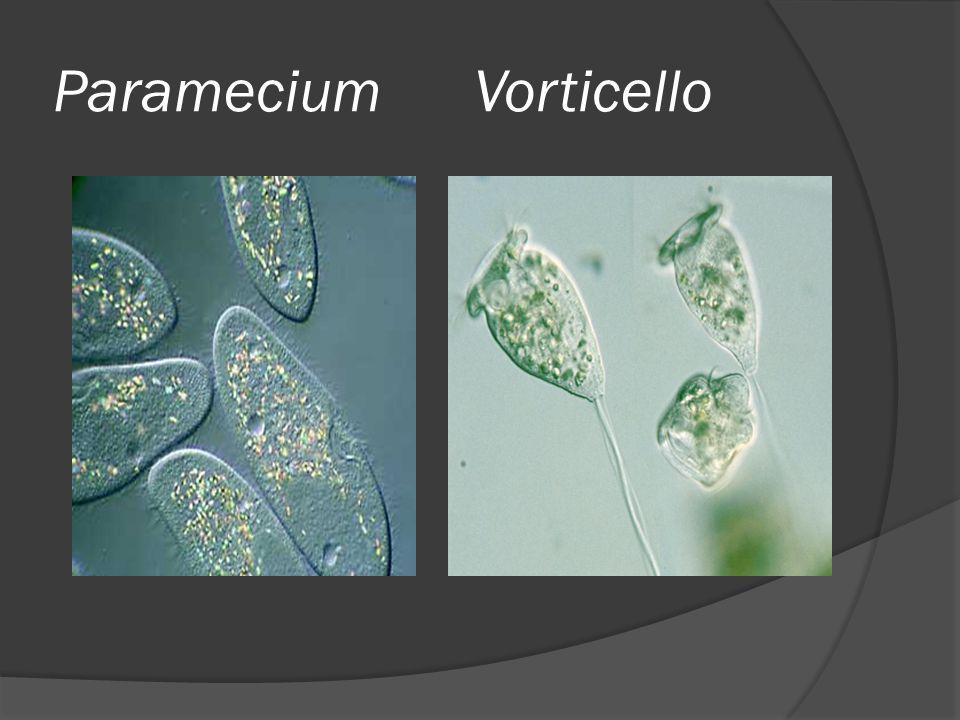 Paramecium Vorticello