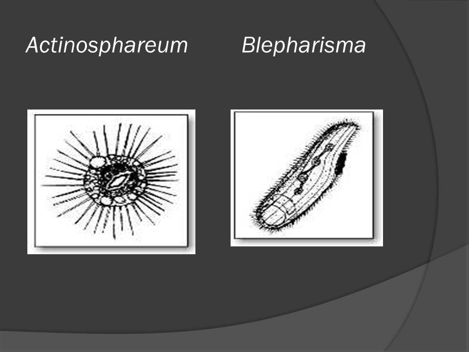 Actinosphareum Blepharisma