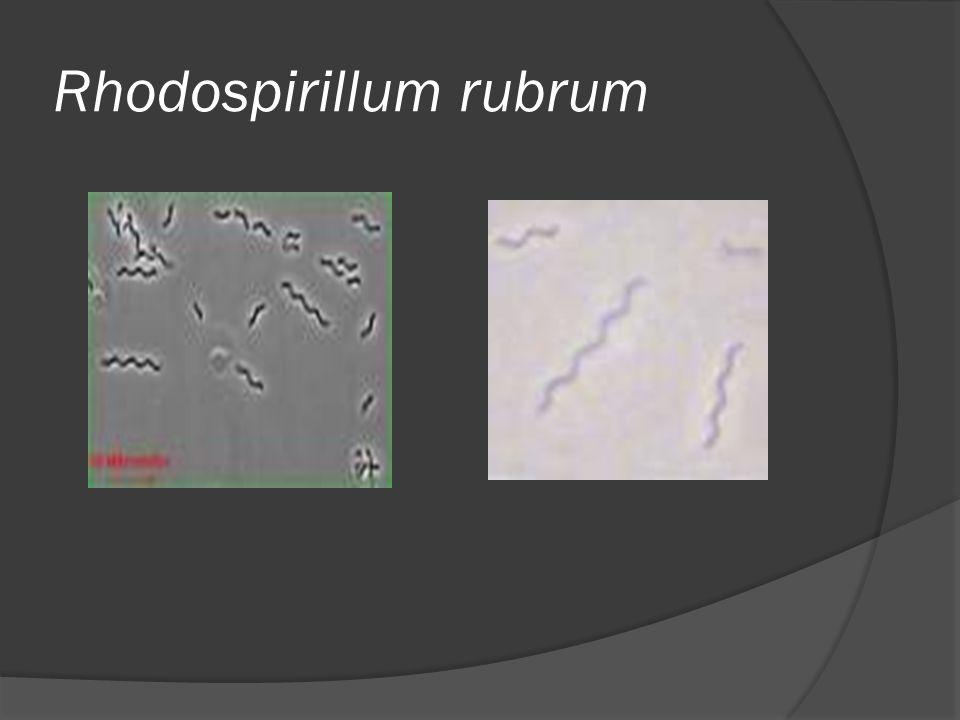 Rhodospirillum rubrum