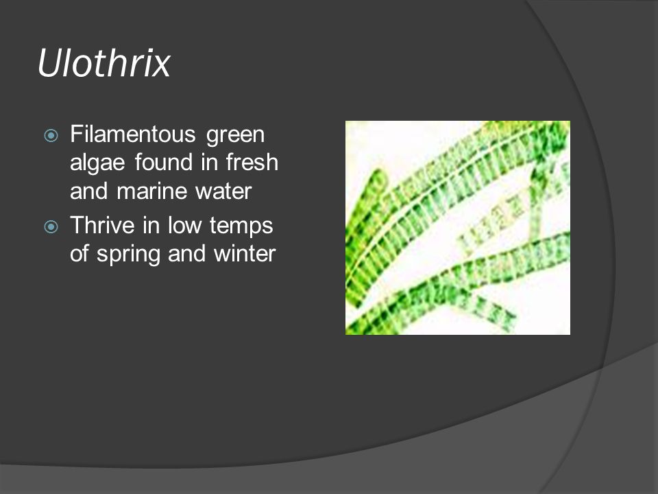 Ulothrix  Filamentous green algae found in fresh and marine water  Thrive in low temps of spring and winter