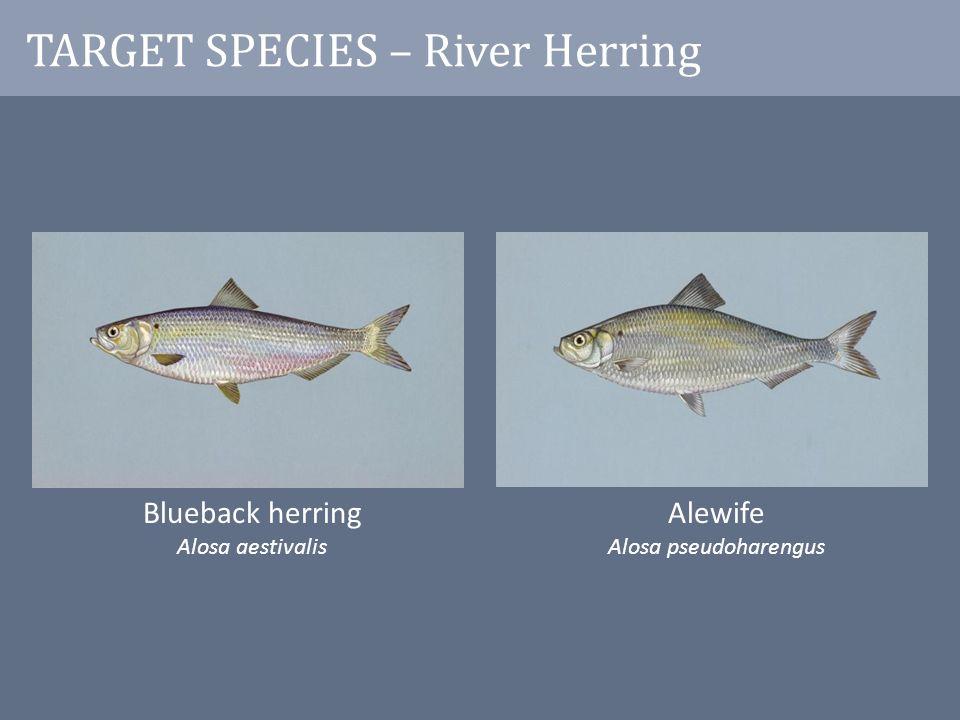 TARGET SPECIES – River Herring Blueback herring Alosa aestivalis Alewife Alosa pseudoharengus