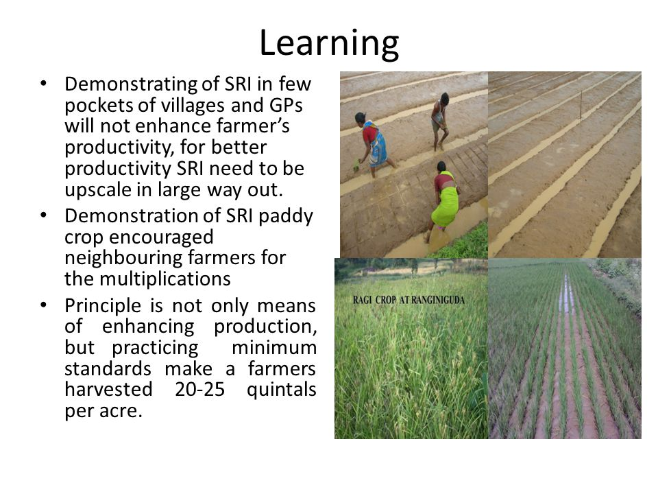 Learning Demonstrating of SRI in few pockets of villages and GPs will not enhance farmer's productivity, for better productivity SRI need to be upscale in large way out.