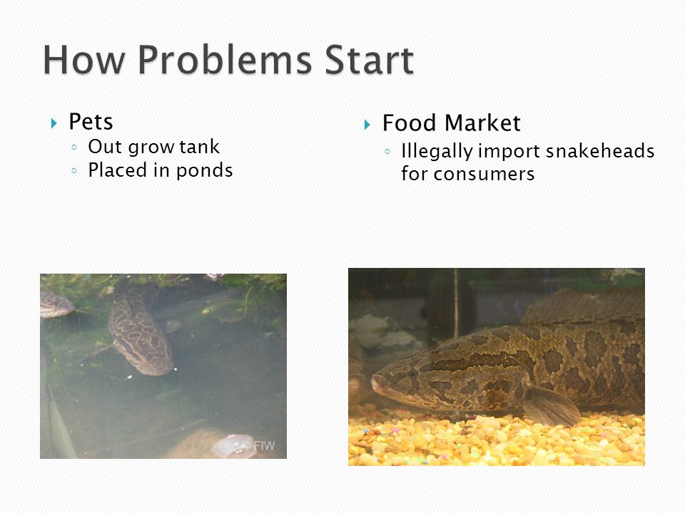 Pets ◦ Out grow tank ◦ Placed in ponds  Food Market ◦ Illegally import snakeheads for consumers