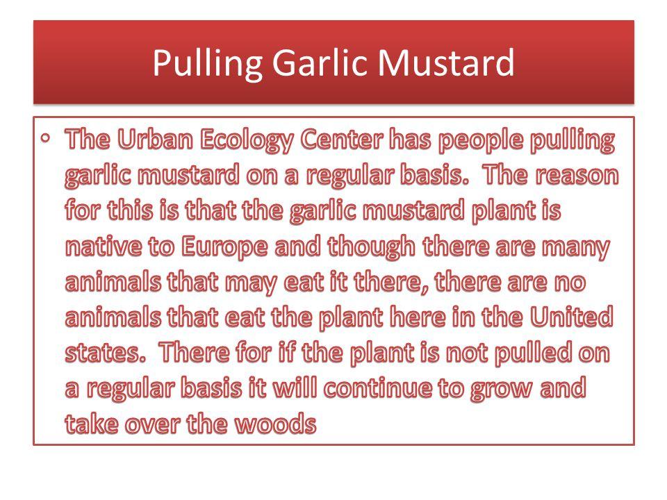 Pulling Garlic Mustard