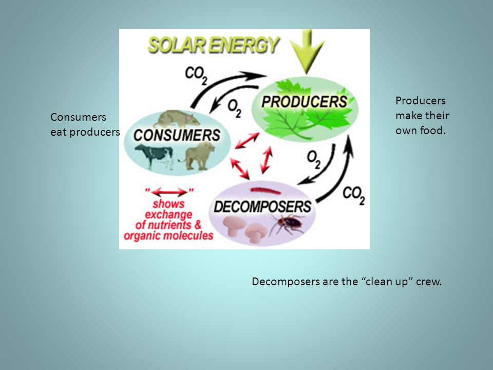 """Consumers eat producers Producers make their own food. Decomposers are the """"clean up"""" crew."""