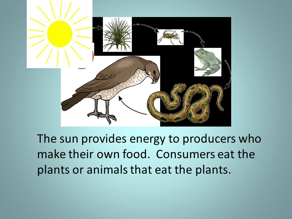 The sun provides energy to producers who make their own food.