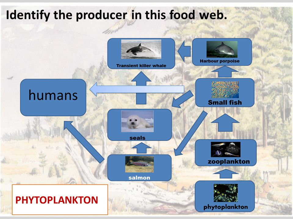 Identify the producer in this food web. PHYTOPLANKTON