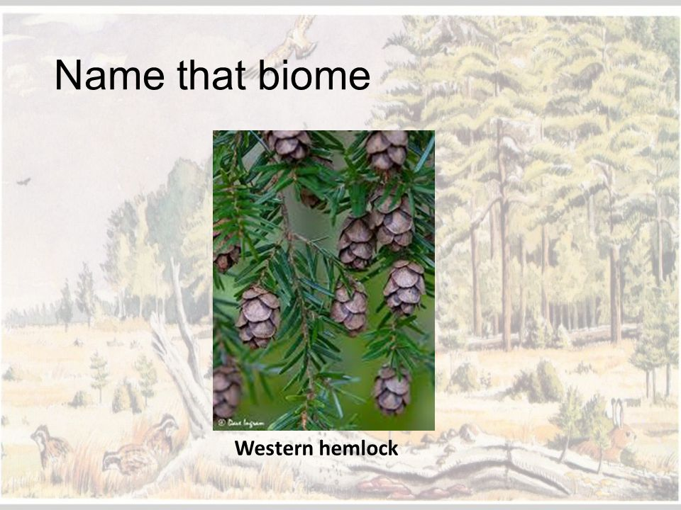 Name that biome Western hemlock