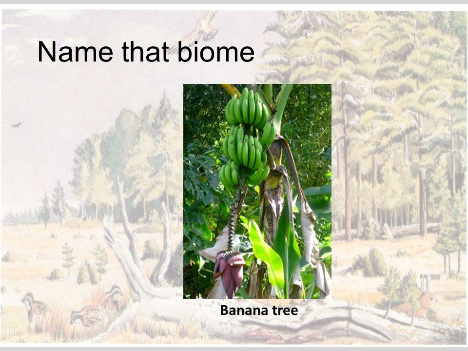 Name that biome Banana tree