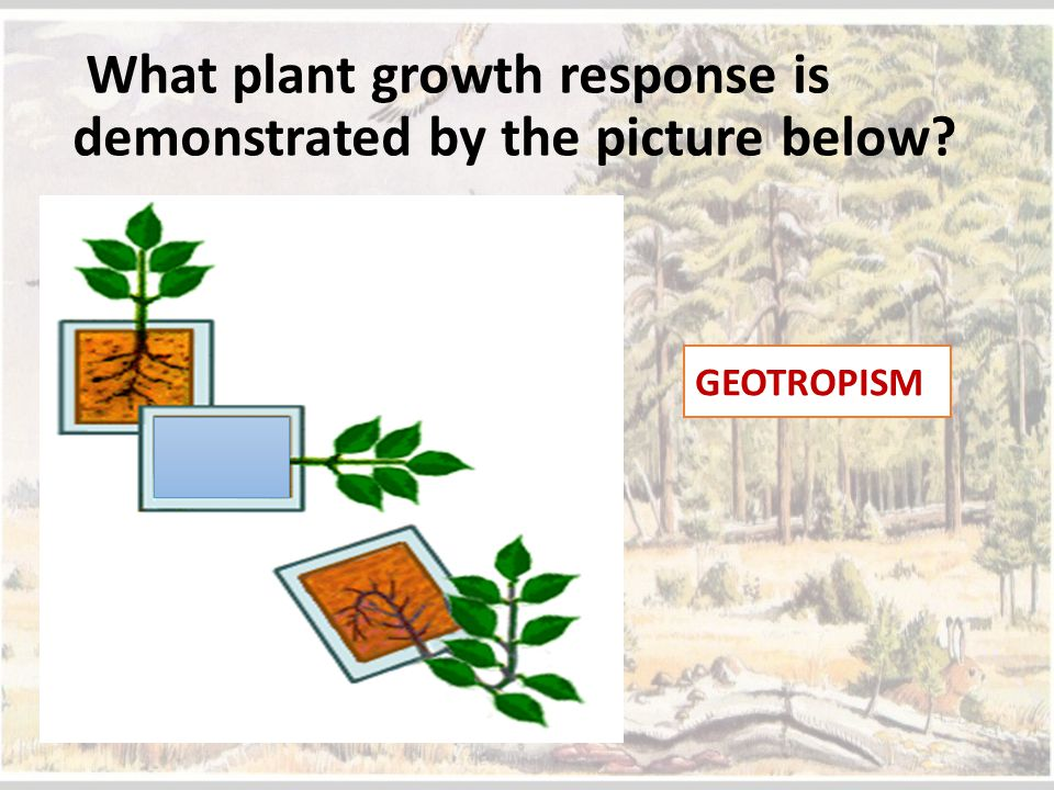 What plant growth response is demonstrated by the picture below? GEOTROPISM