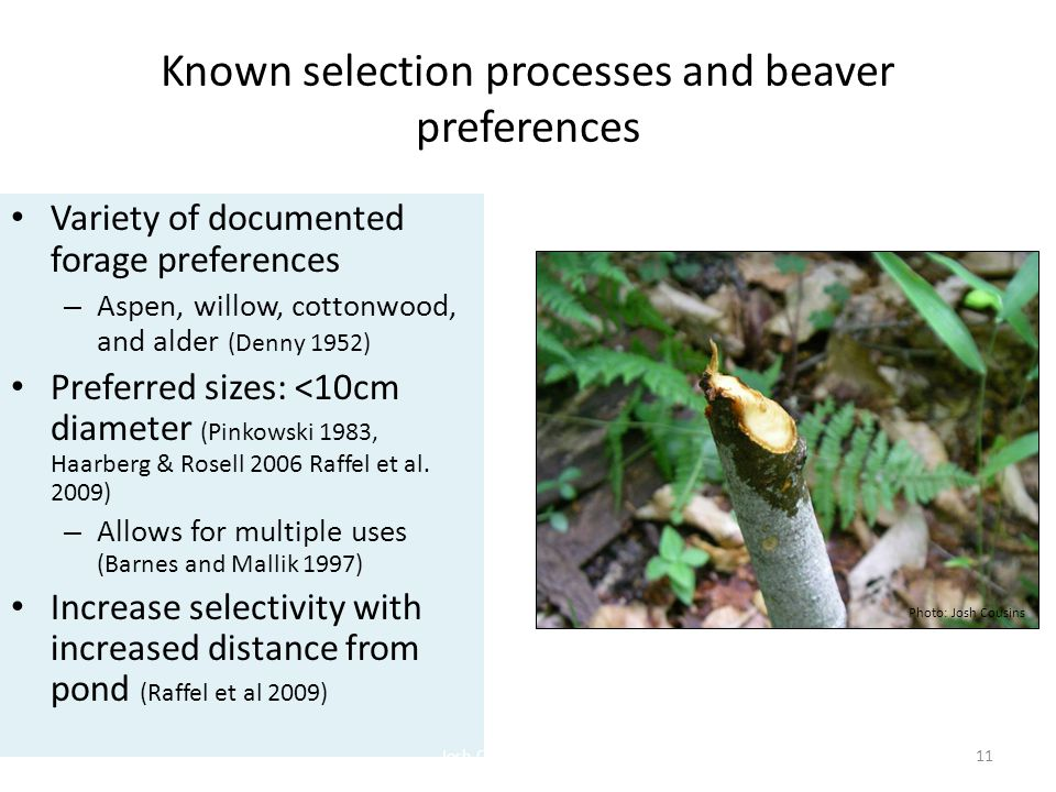 Known selection processes and beaver preferences 11 Variety of documented forage preferences – Aspen, willow, cottonwood, and alder (Denny 1952) Preferred sizes: <10cm diameter (Pinkowski 1983, Haarberg & Rosell 2006 Raffel et al.
