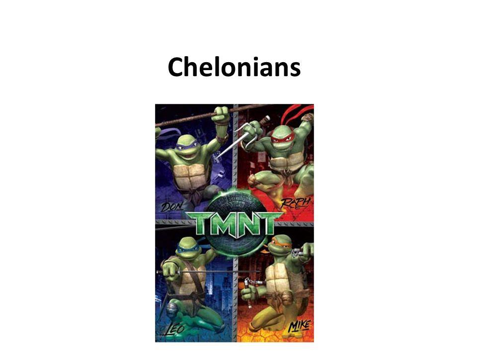 Chelonian Characteristics Shell 50 – 60 bones Fused w/ ribs & vertebrae Scutes Shell variations Trionyx spp.