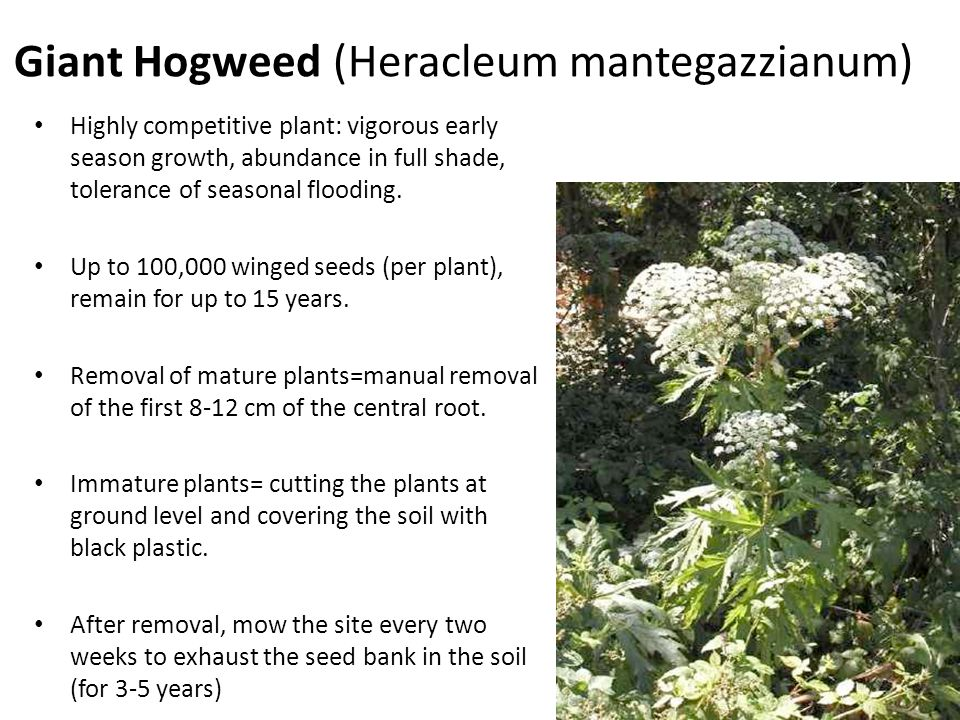 Giant Hogweed (Heracleum mantegazzianum) Highly competitive plant: vigorous early season growth, abundance in full shade, tolerance of seasonal floodi