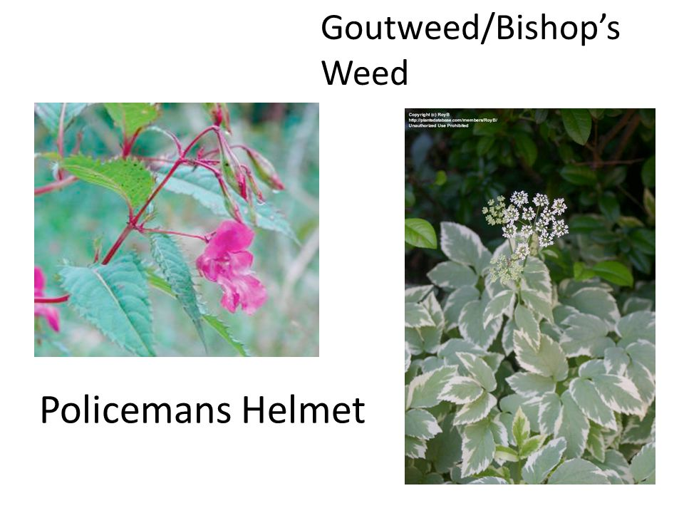 Policemans Helmet Goutweed/Bishop's Weed