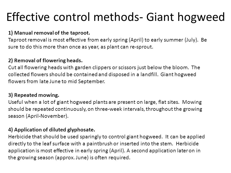 1) Manual removal of the taproot. Taproot removal is most effective from early spring (April) to early summer (July). Be sure to do this more than onc