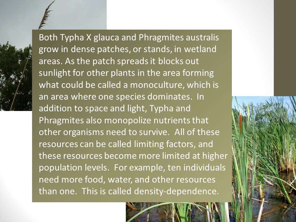 Both Typha X glauca and Phragmites australis grow in dense patches, or stands, in wetland areas. As the patch spreads it blocks out sunlight for other
