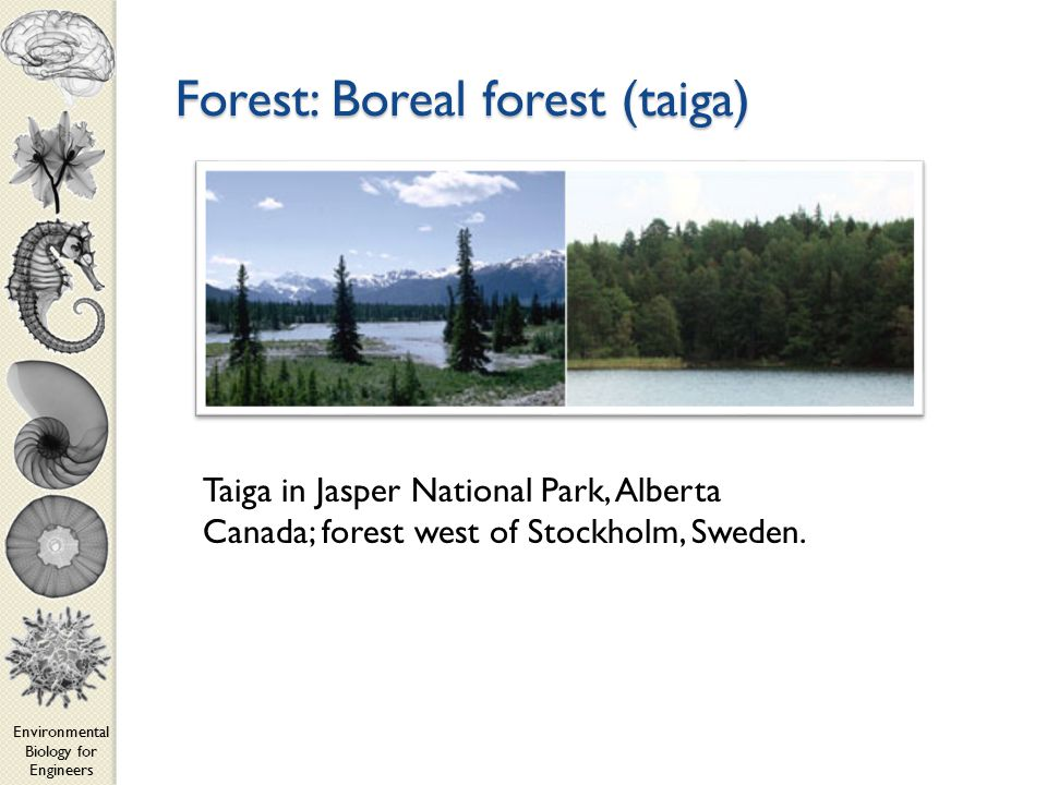 Environmental Biology for Engineers Forest: Boreal forest (taiga) Taiga in Jasper National Park, Alberta Canada; forest west of Stockholm, Sweden.