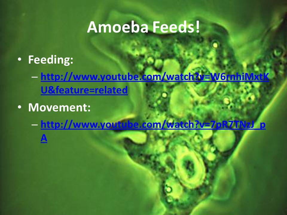 Amoeba Feeds! Feeding: – http://www.youtube.com/watch?v=W6rnhiMxtK U&feature=related http://www.youtube.com/watch?v=W6rnhiMxtK U&feature=related Movem