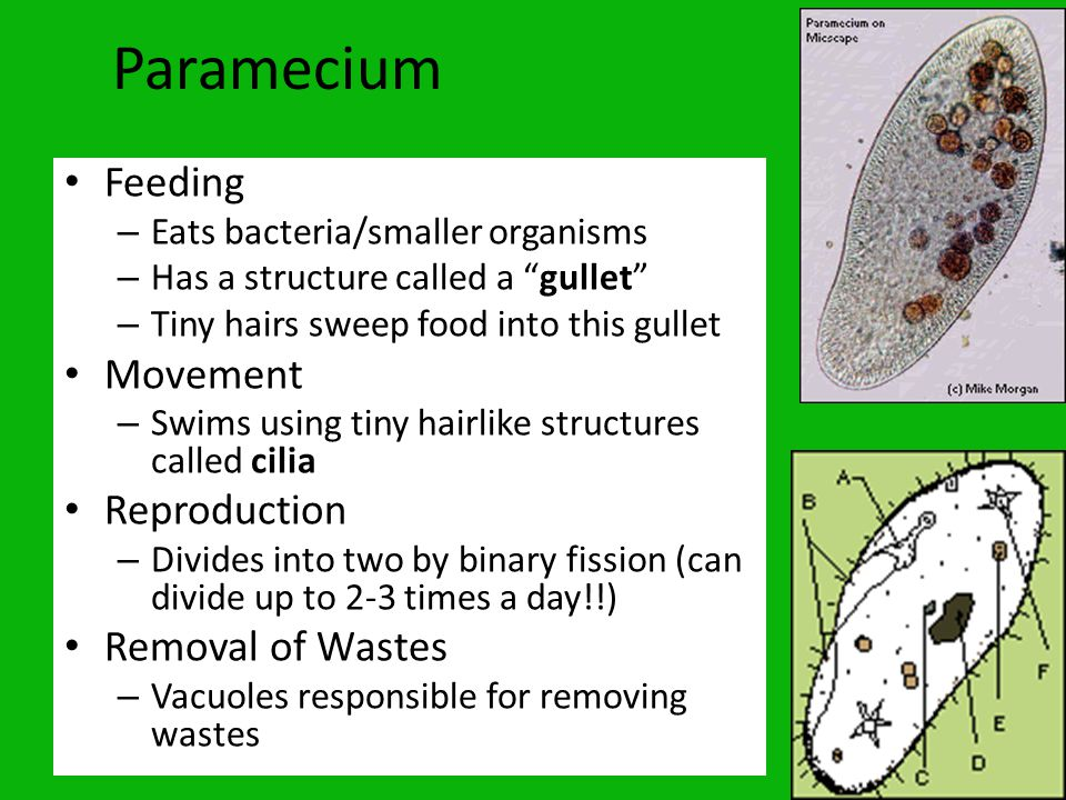 Paramecium Feeding Feeding – http://www.youtube.com/watch?v=l9ymaSzcsdY& feature=fvw http://www.youtube.com/watch?v=l9ymaSzcsdY& feature=fvw Reproduction – http://www.youtube.com/watch?v=K0ZP8VtxUZ0 &feature=related http://www.youtube.com/watch?v=K0ZP8VtxUZ0 &feature=related