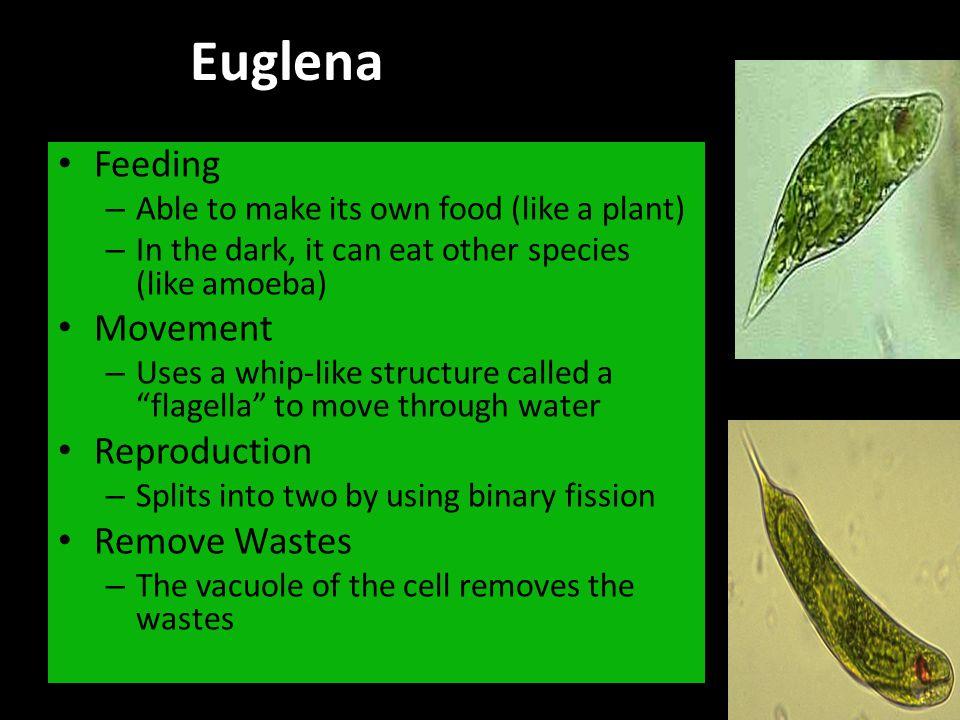 Euglena Reproduction - Binary Fission – http://www.youtube.com/watch?v=5fg3Q-hbSsI http://www.youtube.com/watch?v=5fg3Q-hbSsI Movement – http://www.youtube.com/watch?v=fI7nEWUjk3A http://www.youtube.com/watch?v=fI7nEWUjk3A