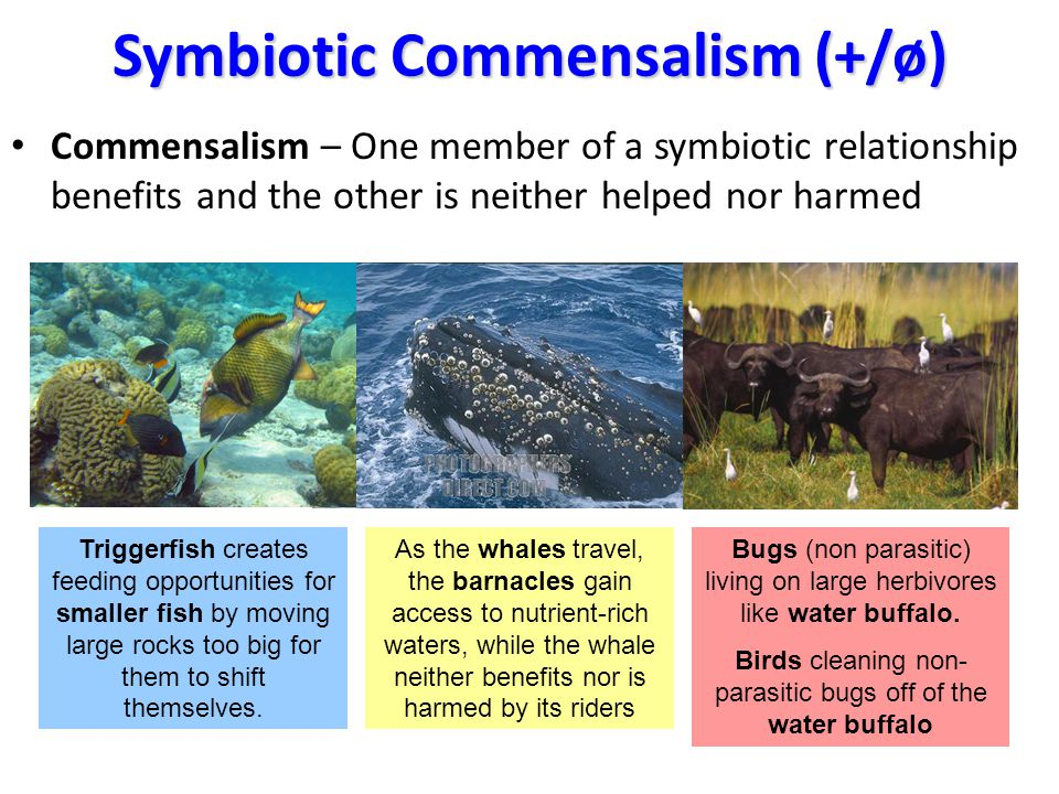 Symbiotic Commensalism (+/ø) Commensalism – One member of a symbiotic relationship benefits and the other is neither helped nor harmed Triggerfish creates feeding opportunities for smaller fish by moving large rocks too big for them to shift themselves.