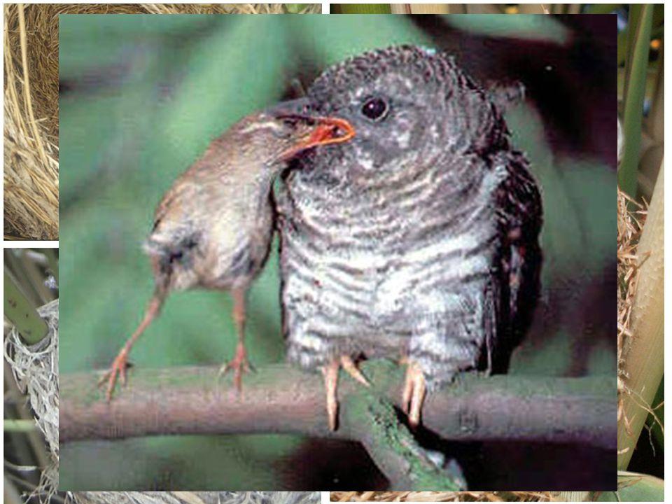 CUCKOO BIRD WARBLER BIRD