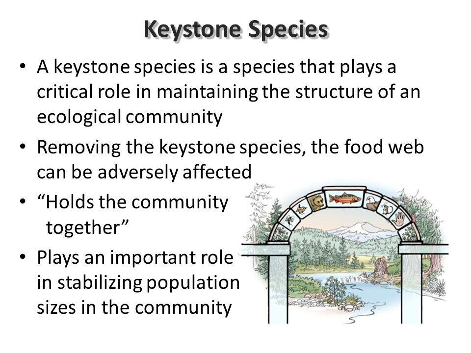 Keystone Species A keystone species is a species that plays a critical role in maintaining the structure of an ecological community Removing the keystone species, the food web can be adversely affected Holds the community together Plays an important role in stabilizing population sizes in the community