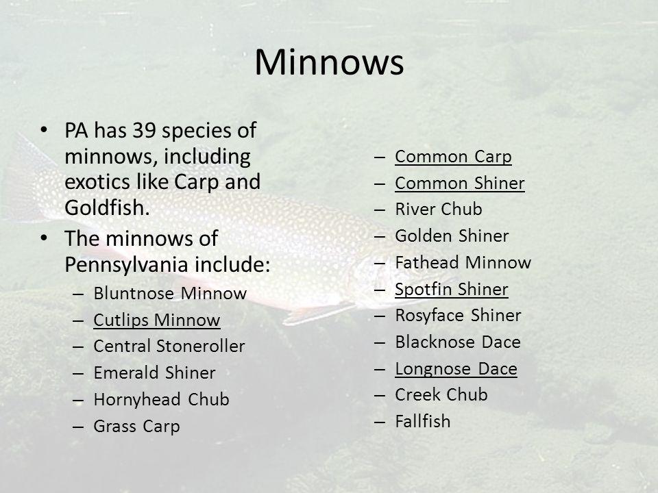 Minnows PA has 39 species of minnows, including exotics like Carp and Goldfish.