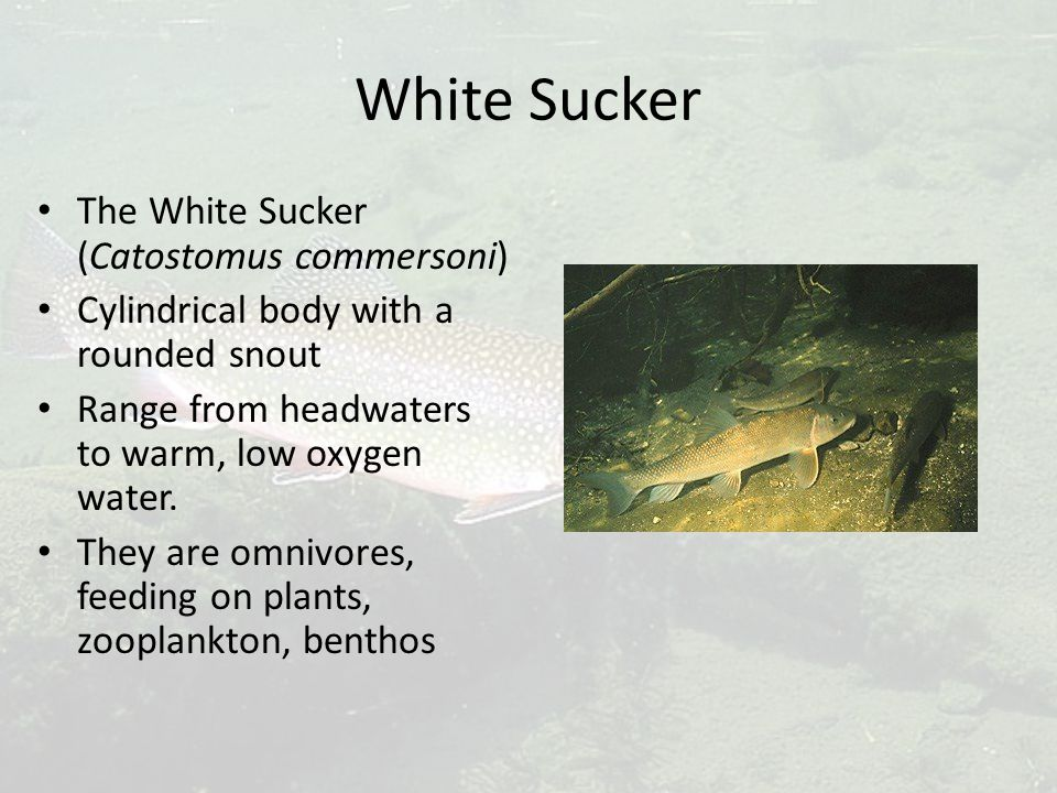 White Sucker The White Sucker (Catostomus commersoni) Cylindrical body with a rounded snout Range from headwaters to warm, low oxygen water. They are