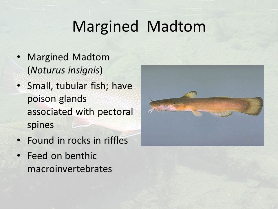 Margined Madtom Margined Madtom (Noturus insignis) Small, tubular fish; have poison glands associated with pectoral spines Found in rocks in riffles Feed on benthic macroinvertebrates