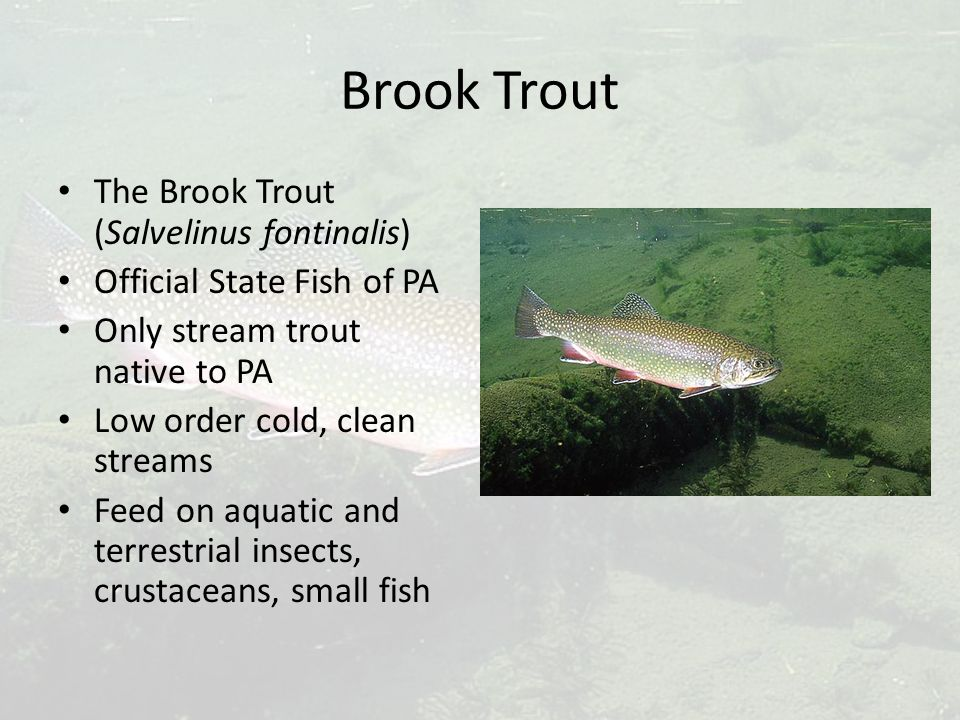 Brook Trout The Brook Trout (Salvelinus fontinalis) Official State Fish of PA Only stream trout native to PA Low order cold, clean streams Feed on aquatic and terrestrial insects, crustaceans, small fish
