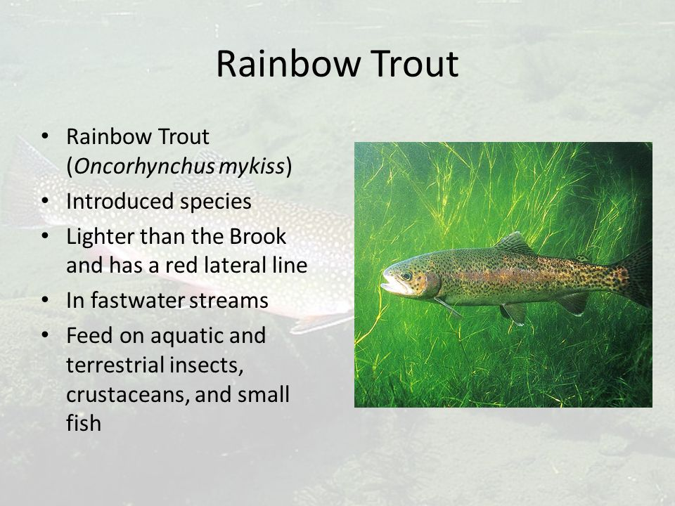 Rainbow Trout Rainbow Trout (Oncorhynchus mykiss) Introduced species Lighter than the Brook and has a red lateral line In fastwater streams Feed on aquatic and terrestrial insects, crustaceans, and small fish