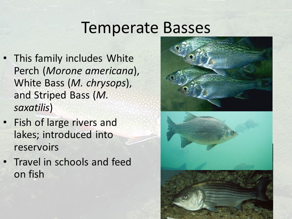 Temperate Basses This family includes White Perch (Morone americana), White Bass (M. chrysops), and Striped Bass (M. saxatilis) Fish of large rivers a