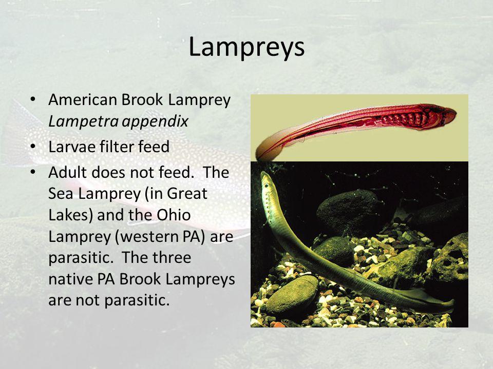 Lampreys American Brook Lamprey Lampetra appendix Larvae filter feed Adult does not feed.