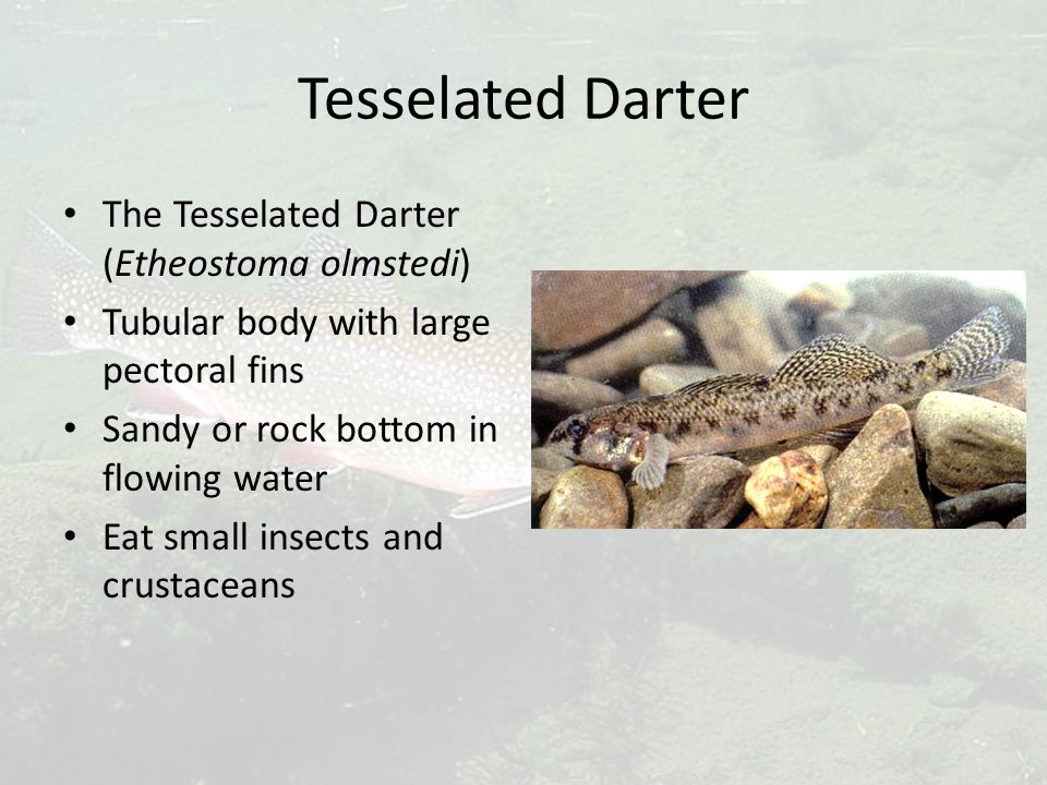 Tesselated Darter The Tesselated Darter (Etheostoma olmstedi) Tubular body with large pectoral fins Sandy or rock bottom in flowing water Eat small in