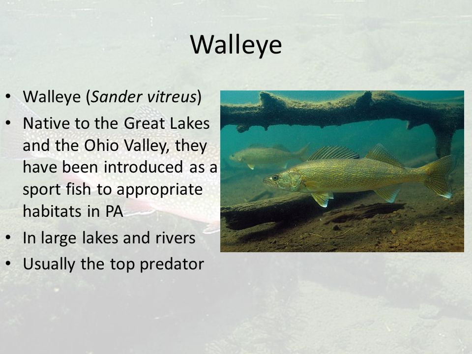 Walleye Walleye (Sander vitreus) Native to the Great Lakes and the Ohio Valley, they have been introduced as a sport fish to appropriate habitats in PA In large lakes and rivers Usually the top predator