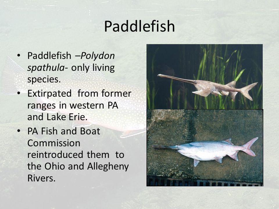 Paddlefish Paddlefish –Polydon spathula- only living species.