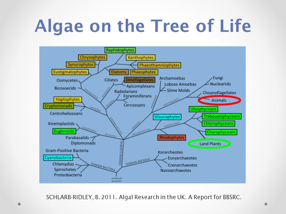 Algae on the Tree of Life SCHLARB-RIDLEY, B. 2011. Algal Research in the UK. A Report for BBSRC.