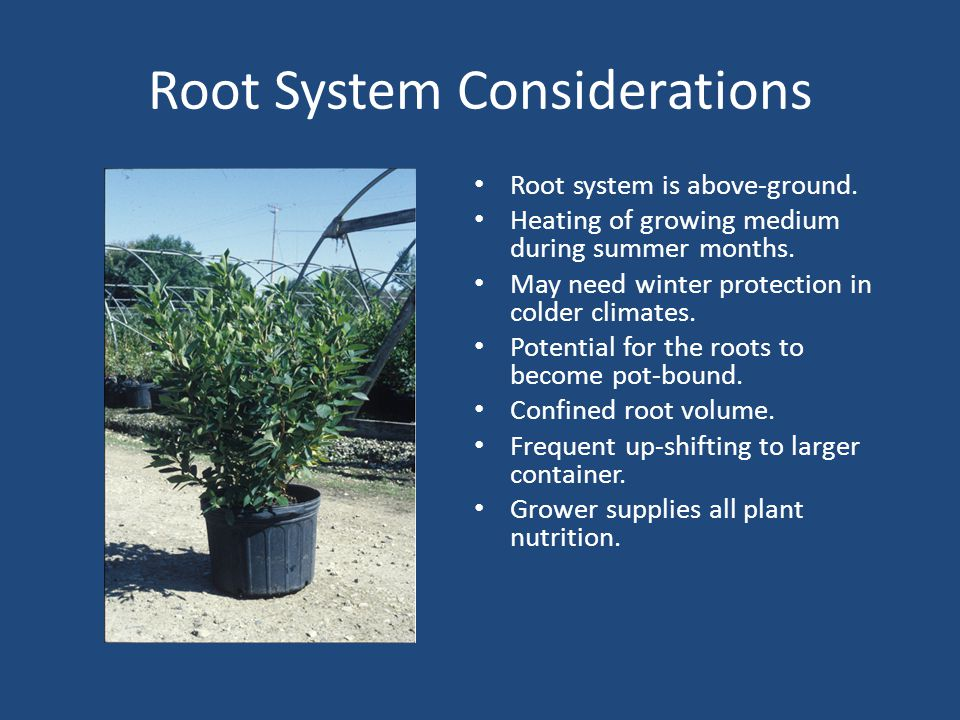 Root System Considerations Root system is above-ground.