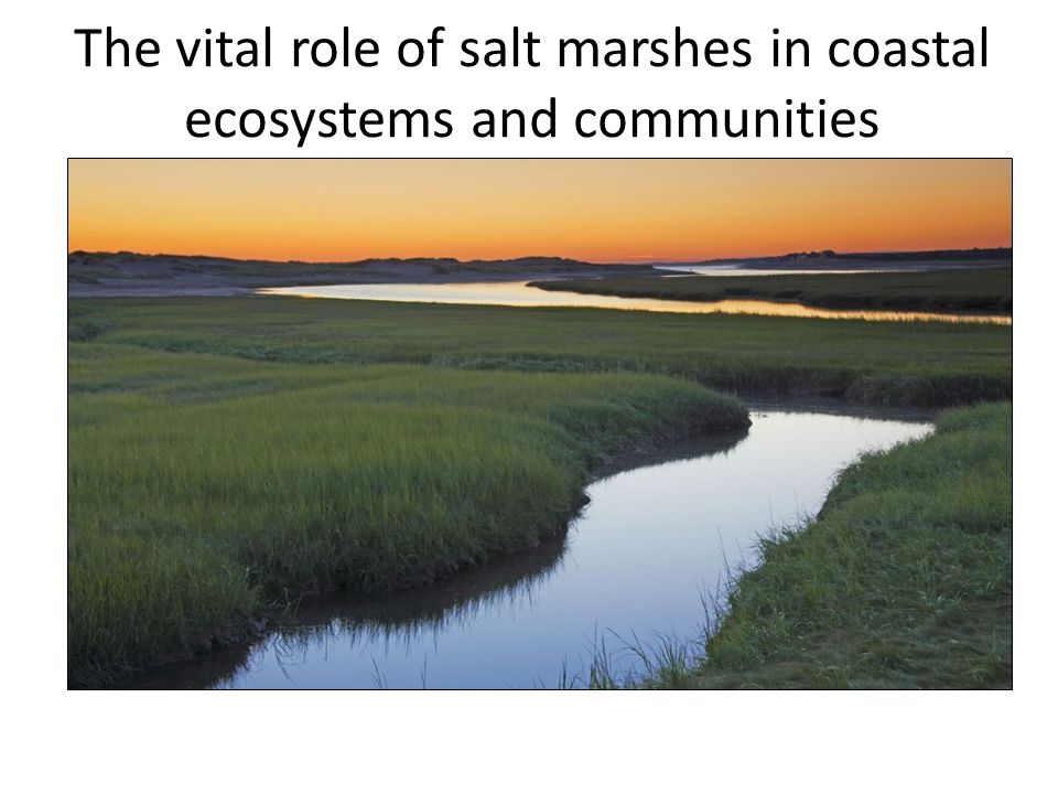 The vital role of salt marshes in coastal ecosystems and communities