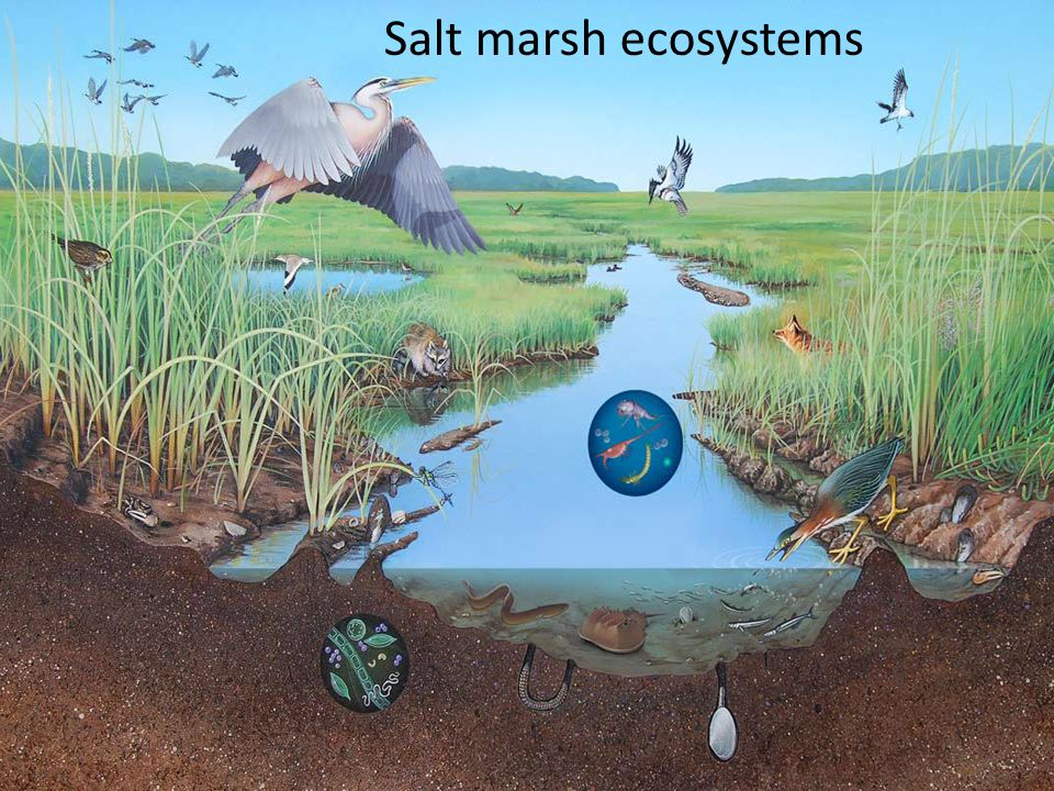 Salt marsh ecosystems