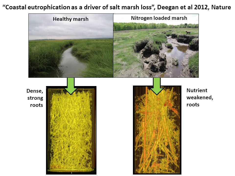 Healthy marsh Nitrogen loaded marsh Coastal eutrophication as a driver of salt marsh loss , Deegan et al 2012, Nature Dense, strong roots Nutrient weakened, roots